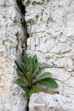 Plant on a limestone Royalty Free Stock Images