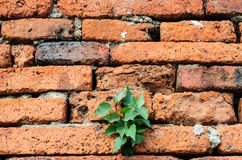 Plant little tree on old brick wall. As background Royalty Free Stock Image