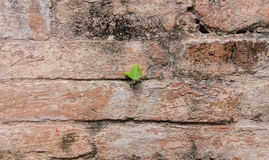 Plant little tree on old red bricks wall Royalty Free Stock Photos