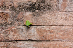 Plant little tree on old red bricks wall Royalty Free Stock Photo