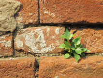 Plant little tree on old red bricks wall background Royalty Free Stock Photos