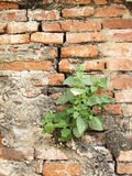 Plant little tree on old red bricks wall background Stock Photography
