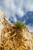 Plant with long, winding roots growing on barren rock Stock Photos
