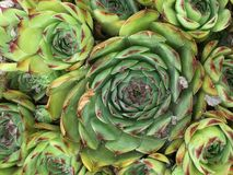 Plant that looks like cabbage. Green plant that will flower over the summer Royalty Free Stock Images
