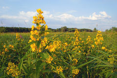 Plant loosestrife with yellow flowers on a green meadow royalty free stock photo