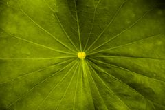 Plant lotus leaf background texture stock photo