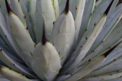 Plant macro - Agave Closeup cactus Royalty Free Stock Photos