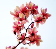 Plant magnolia Royalty Free Stock Image