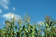 Plant of maize. In farm, cornfield Royalty Free Stock Images