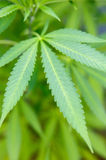 Plant of marijuana Royalty Free Stock Image
