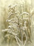 Plant on a meadow at winter sunrise Royalty Free Stock Photos