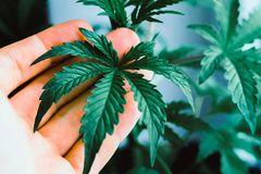 Plant medical marijuana Marijuana leaves, A beautiful leaf of cannabis, marijuana, herbal hands at the man. Indoor cultivation royalty free stock photography