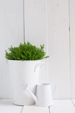 Plant in a metal pot and watering can. Spring green house plant in a metal pot and watering can on white painted board. Country life, home gardening background stock photo