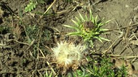 Plant milk thistle Silybum marianum or cardus marianus healing herb, in a dry inflorescence with fruits, used in the