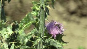 Plant milk thistle Silybum marianum or cardus marianus healing herb, used in the pharmaceutical and folk healing and