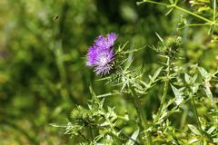 Plant Milk thistle Silybum marianum with pink flowers close-up Greece. Thorny plant Milk thistle Silybum marianum with presenting decorative, prickly leaves royalty free stock images