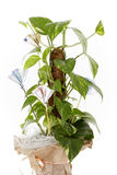Plant with money. Gift concept. Stock Photography