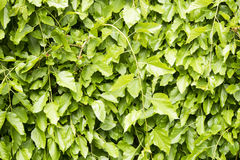 Plant mural. Intertwining Mulberry plants of the genus Morus Royalty Free Stock Photo