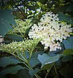 Plant, Nannyberry, Flora, Viburnum stock image