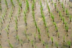 Rice field mud water growing Royalty Free Stock Photos