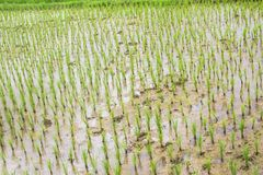 Rice field mud water growing Stock Photo