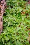 Plant, nettle. Stock Photo