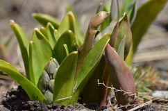 Plant. A new growth in spring Royalty Free Stock Photos