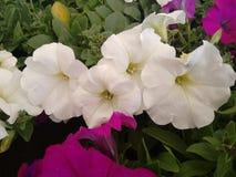 White petunia flowers Stock Photos