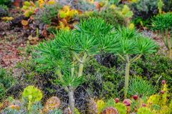 Plant on North-west coast of Tenerife near Punto Teno Lighthouse Stock Photos