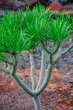 Plant on North-west coast of Tenerife near Punto Teno Lighthouse Royalty Free Stock Photography