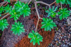 Plant on North-west coast of Tenerife near Punto Teno Lighthouse Royalty Free Stock Photos