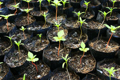 Plant in nursery bags Royalty Free Stock Images