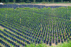Plant nursery farm. Rows of young trees at the nursery ground Stock Photography