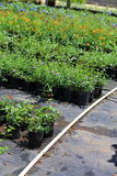 Plant Nursery. A Plant nursery growing different types of plants like plumbago, lantana, salvia, and annuals Stock Photos