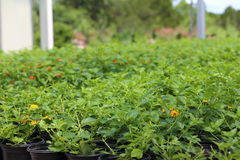 Plant Nursery. A Plant nursery growing different types of plants like plumbago, lantana, salvia, and annuals Stock Photography