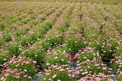 Plant nursery. Large plant nursery of marguerite daisies in fuxia plastic pots, in rows Stock Image
