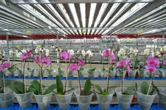 plant nursery-orchids Stock Image