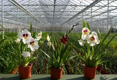 Plant Nursery-orchids. Greenhouse nursery with potted plants-orchids Stock Photography