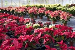 Plant nursery with poinsettia flowers Royalty Free Stock Image