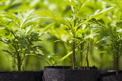 Plant nursery in a seeding bag Royalty Free Stock Photography