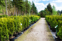 Plant nursery. Variety of conifers in pots Stock Photo