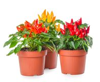 Free Plant Of Red, Yellow, Orange Hot Chili Peppers In Pot Isolated O Royalty Free Stock Photography - 112772287