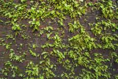 Plant on old wall Royalty Free Stock Photos