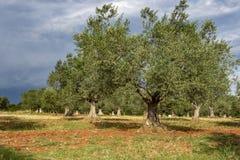 Tree olives Royalty Free Stock Image