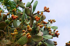 Plant of opuntia ficus-indica. In summer Royalty Free Stock Photography