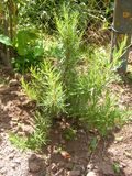 Plant of organic green rosemary. Belarus royalty free stock photo