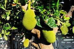 Jackfruit tree fruit fresh nature Stock Images