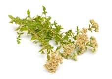 Plant Origanum with flowers. Isolated on white background.  stock images