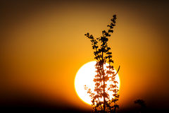 Plant over big sun sunset background Royalty Free Stock Photo