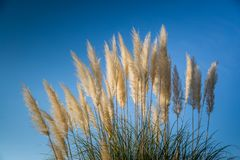 Free Plant Pampas Grass Hunker. Plumes Of Pampas Grass Against A Blue Sky Stock Images - 141496704